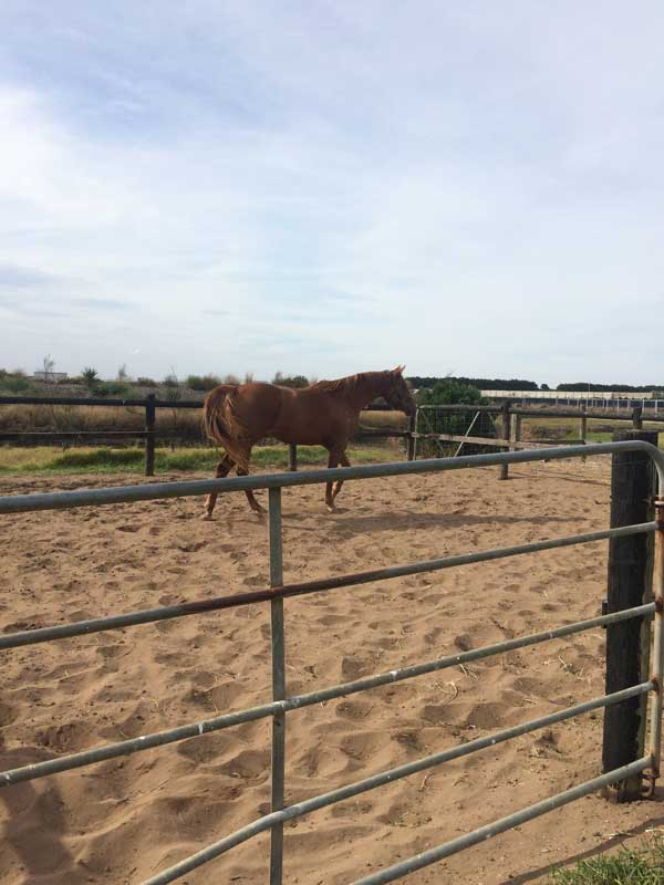 horse-resting-in-enclosure