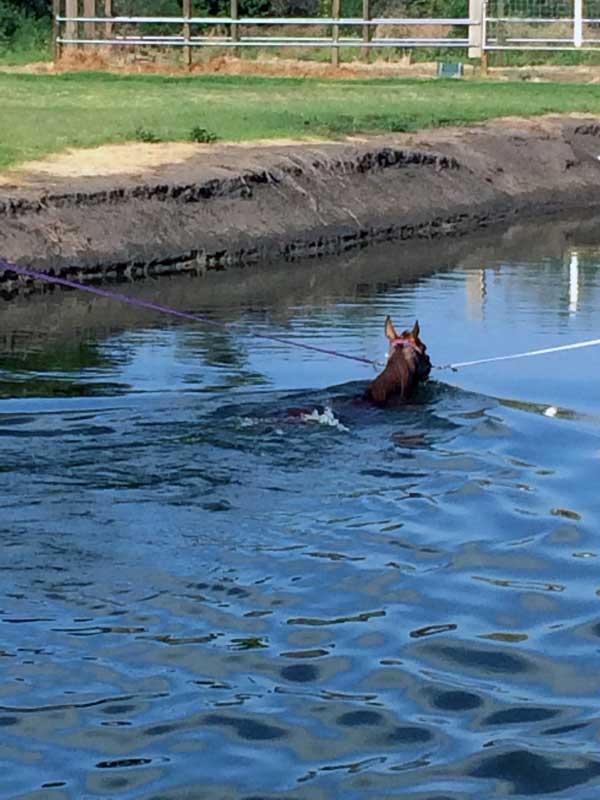 horse-swimming